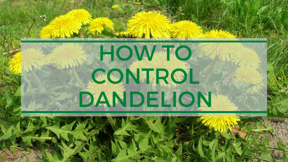 How to kill and control Dandelion?