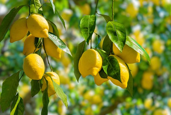 Decoding-Yellow-Leaves-On-A-Lemon-Tree