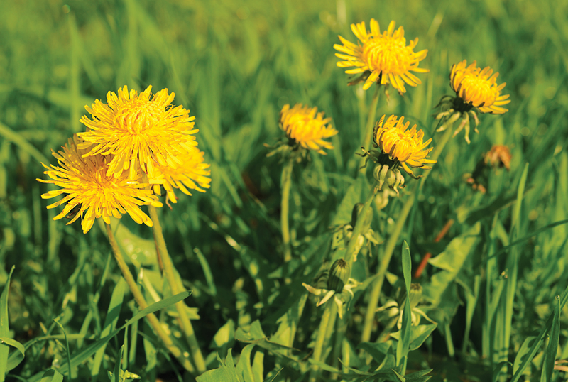 Five-Common-Lawn-Weeds-And-How-To-Control-Them