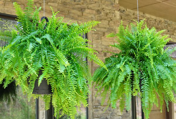How-To-Care-For-Hanging-Plants