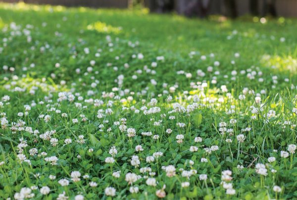 How-To-Get-Rid-Of-Clover-From-Your-Lawn