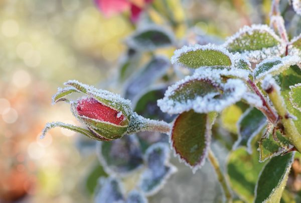 How-To-Protect-Plants-From-Frost