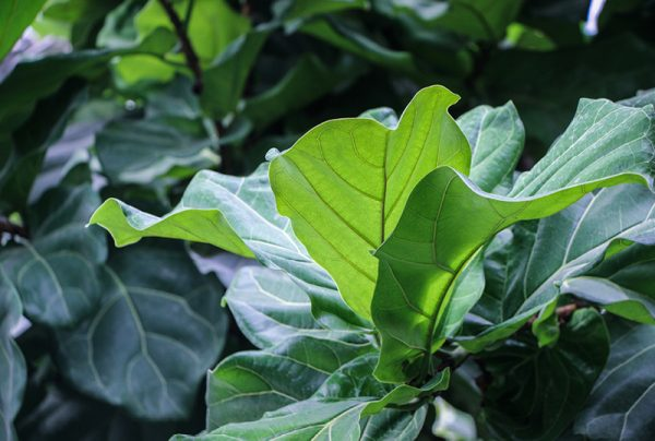 How-To-Repot-A-Fiddle-Leaf-Fig