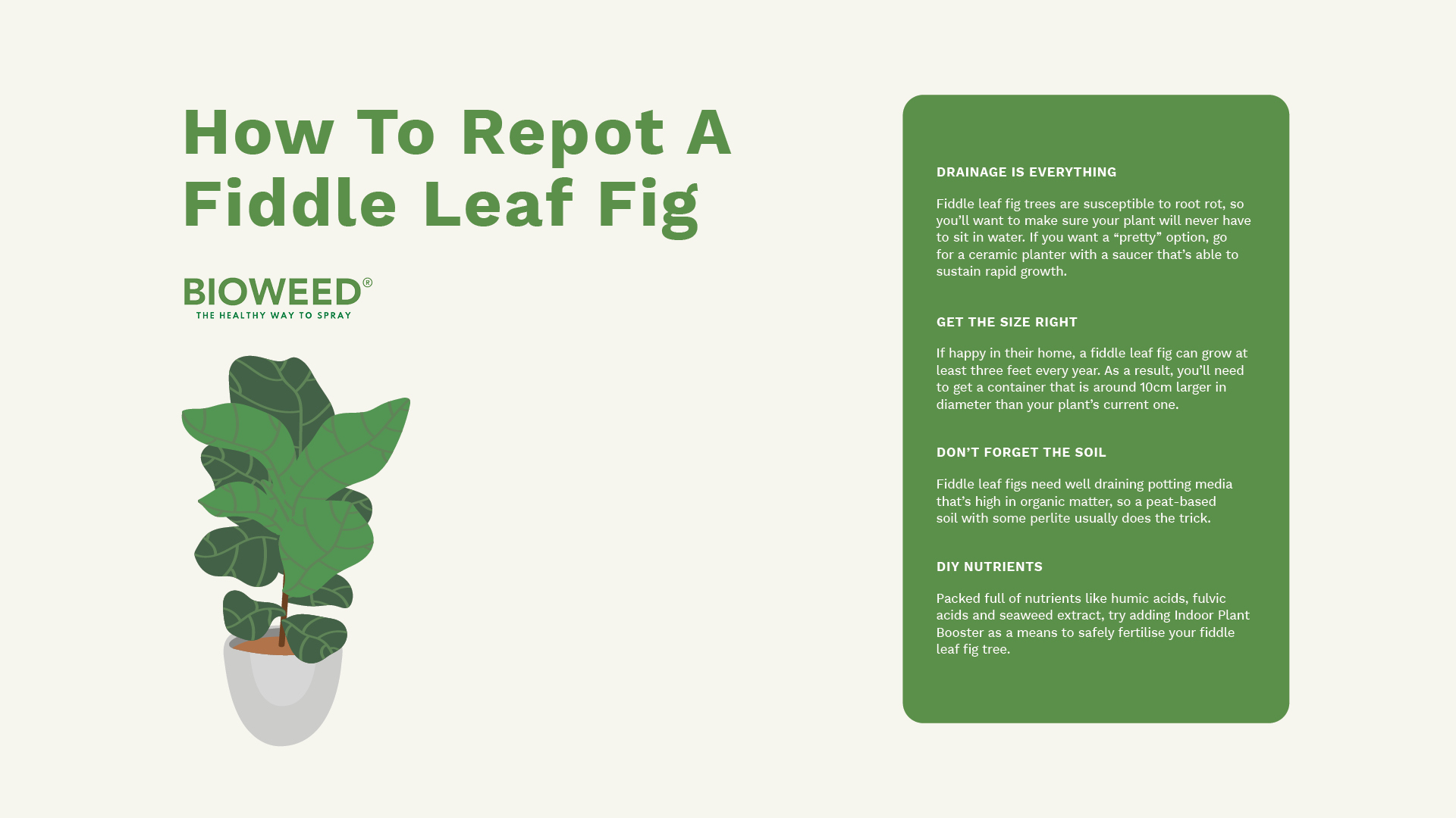 How-To-Repot-A-Fiddle-Leaf-Fig2