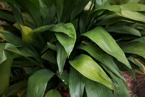 Invincible-Indoor-Plants-For-Home-Offices