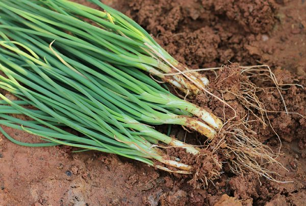 Learning-How-To-Grow-Spring-Onion