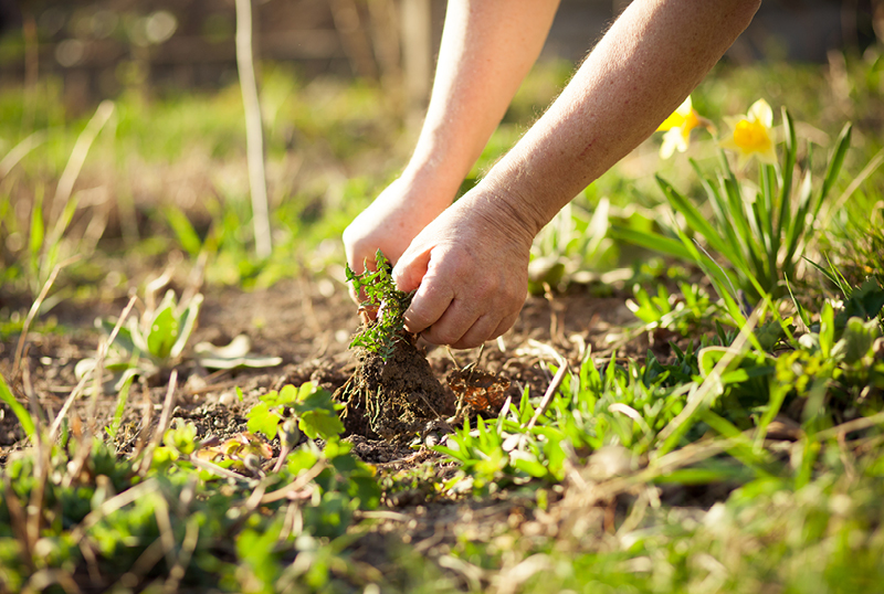 Sourcing-A-Family-Friendly-Natural-Weed-Killer