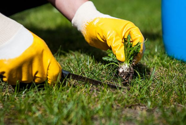 Man,Removes,Weeds,From,The,Lawn,/,Cutting,Out,Weeds