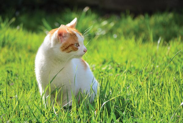 Why-Do-Cats-Eat-Grass-Around-Your-Home_