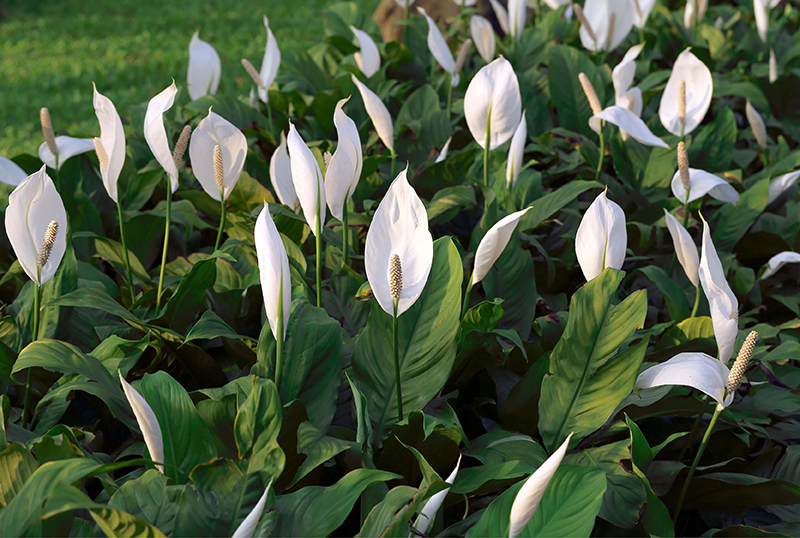Why-The-Peace-Lily Is-So-Popular