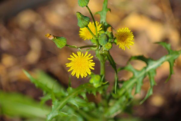 how-to-identify-weeds-website